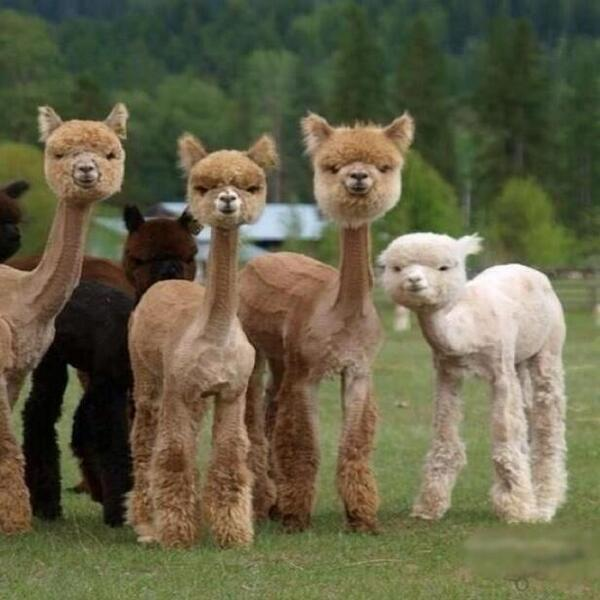 Llamas after fleecing