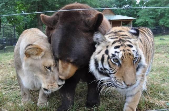 LionTigerBear1