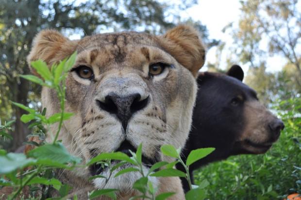LionTigerBear11