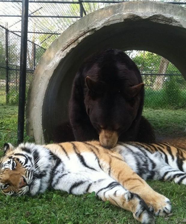 LionTigerBear13