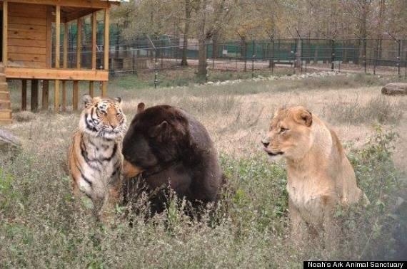 LionTigerBear15