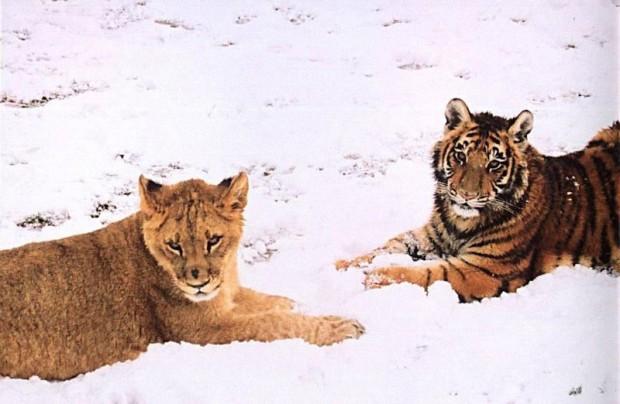 LionTigerBear8